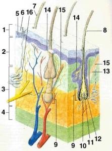 vlas-struktura